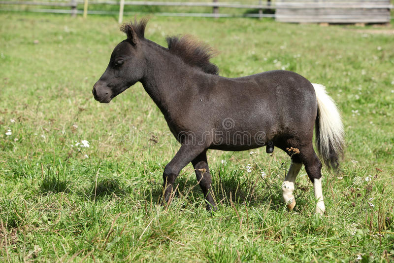 Nice foal of minihorse. Nice foal of american miniature horse on pasture stock images