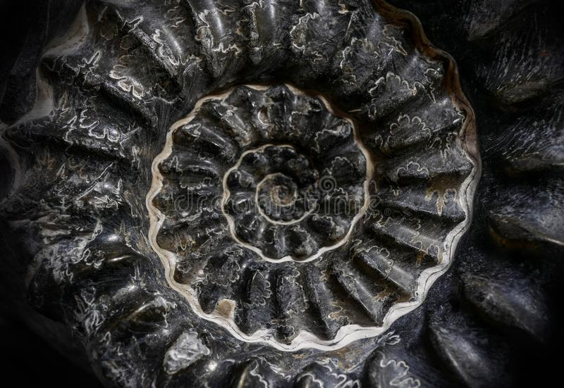 Nice fossil ammonite on matrix. With dark colors close up shot stock photography