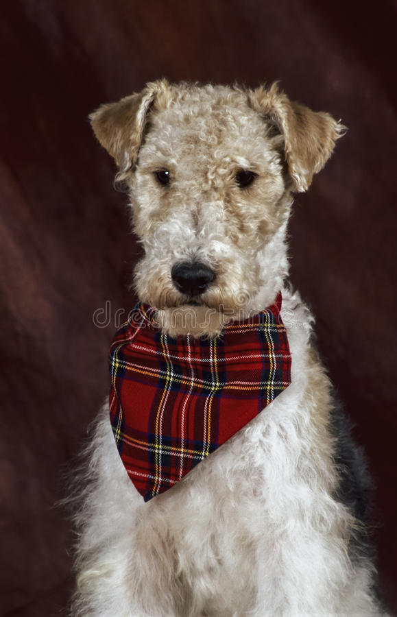 Nice fox terrier. Portrait of a serious looking fox terrier wearing a little plaid red scarf, shot on a dark brown backdrop, the dog is white, black and tan stock photography