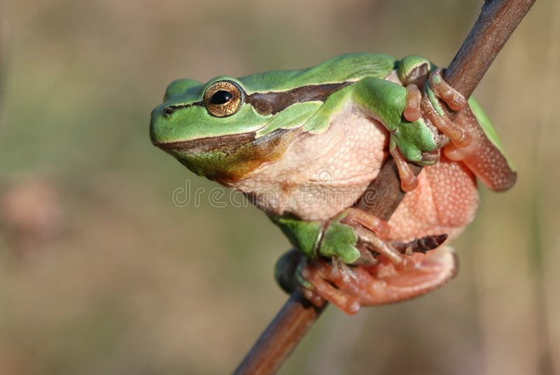 Download Nice frog stock photo. Image of amphibian, tree, frog - 9160868