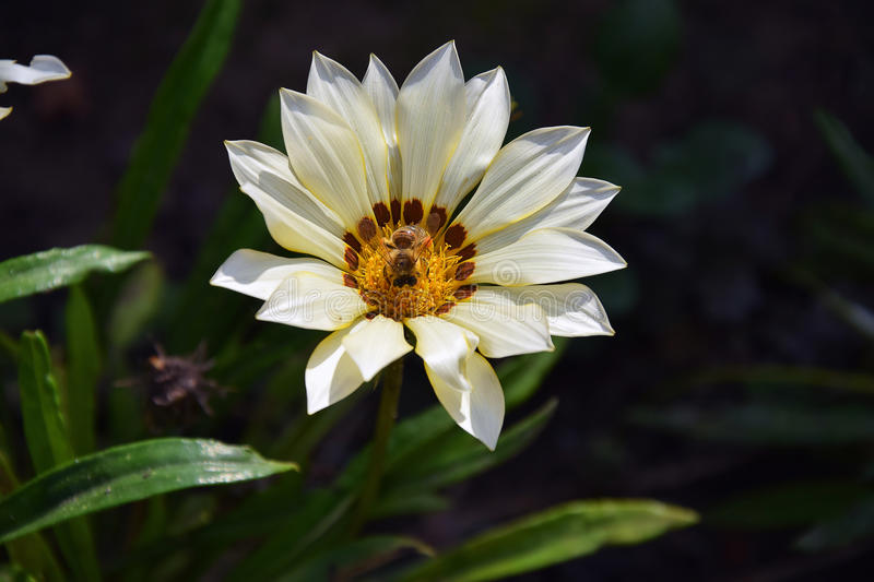 Nice gazania. White nice gazania with the insect close up in my garden stock photo