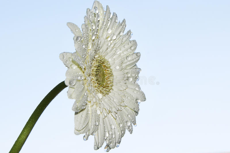 Download Nice gerber stock image. Image of white, nice, pretty - 83713549