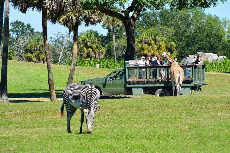 Nice giraffe with group of people during safari tour. Zebra defocused in the foreground at Bush G. Tampa, Florida. October 25, 2018 Nice giraffe with group of royalty free stock image