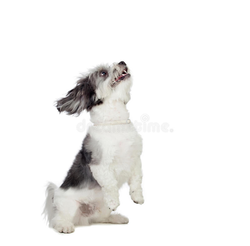Nice gray dog with many hair royalty free stock images