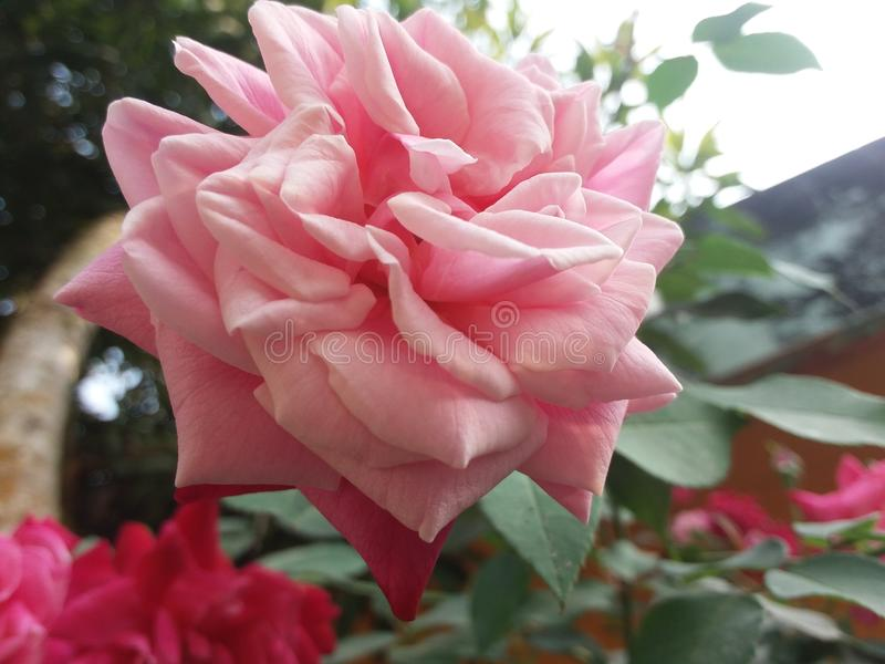 Awsome rose in the morning short royalty free stock photography