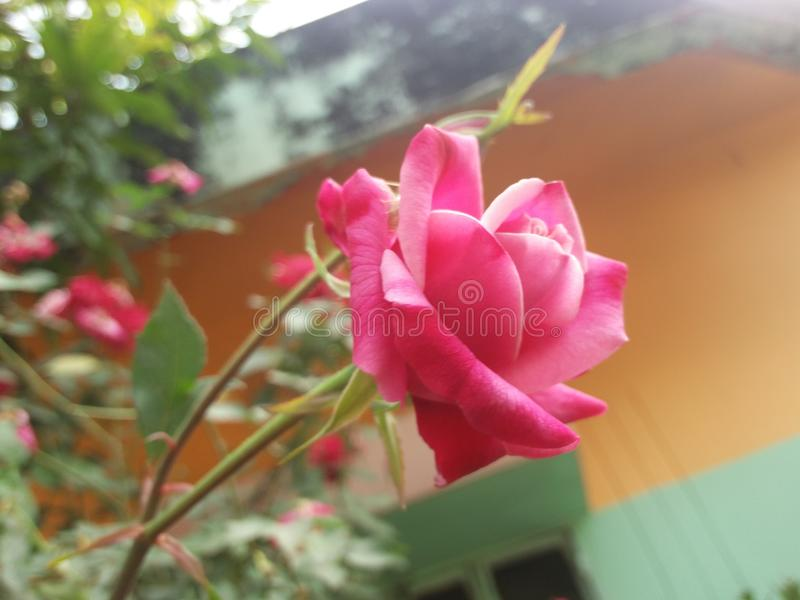 Awsome rose in the morning short stock images
