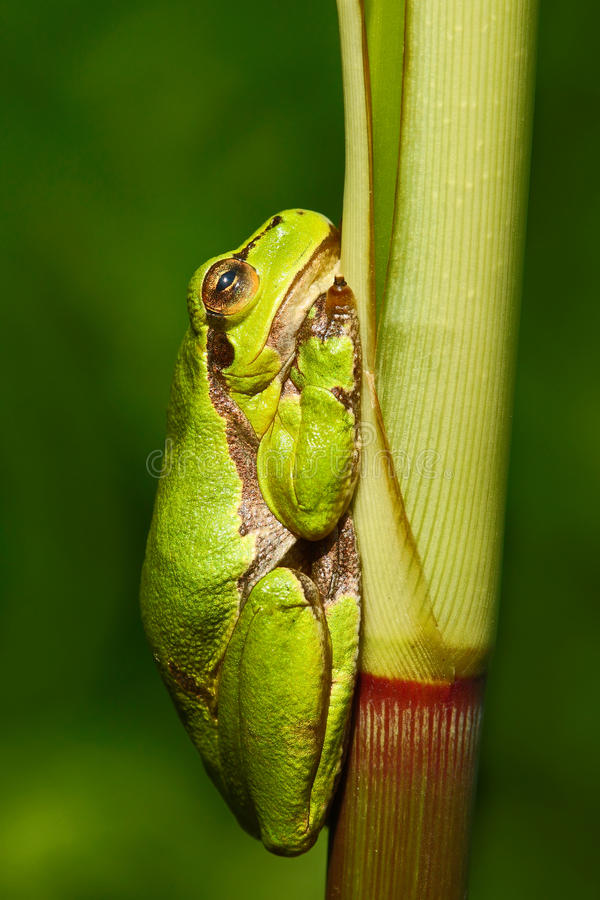 Nice green amphibian European tree frog, Hyla arborea, sitting on grass with clear green background. Beautiful amphibian in the na royalty free stock photography
