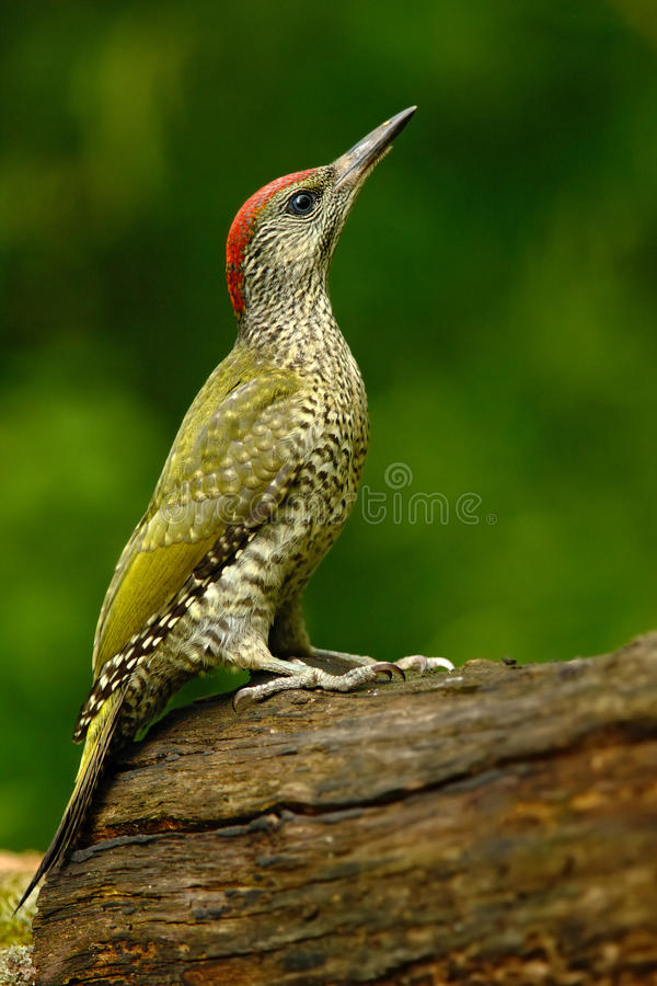 Nice green bird Green Woodpecker, Picus viridis, sitting on the tree trunk with yellow lichen, bird in the nature habitat, Hungary. Europe royalty free stock image
