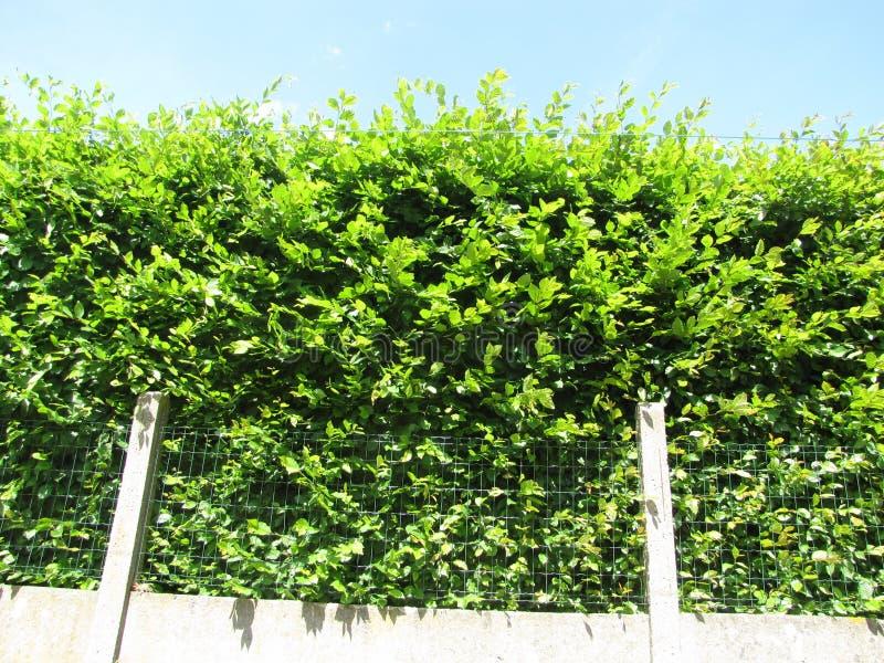 Nice green bush. In the yarden, a nice green bush royalty free stock photos