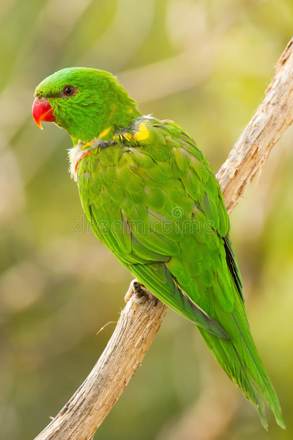 Nice green parrot in wild. On a brench royalty free stock photos