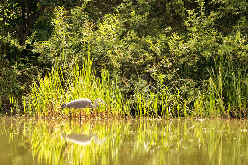 Nice grey heron bird is fishing in shellow of a pond stock photos