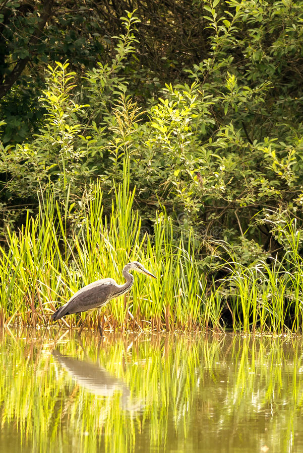 Nice grey heron bird stands in shellow of a pond stock photography