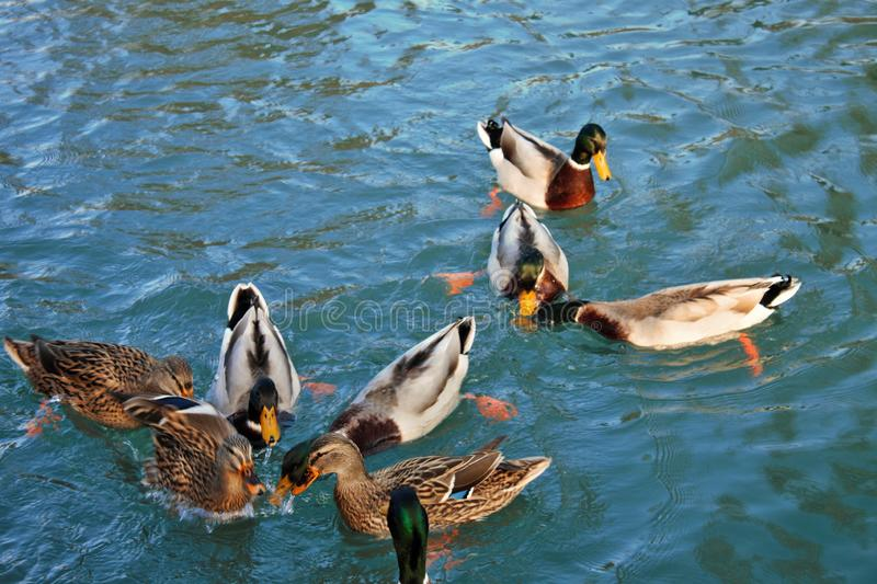 a nice group of ducks busy eating. stock images