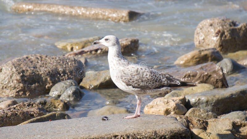Nice gull royalty free stock photos