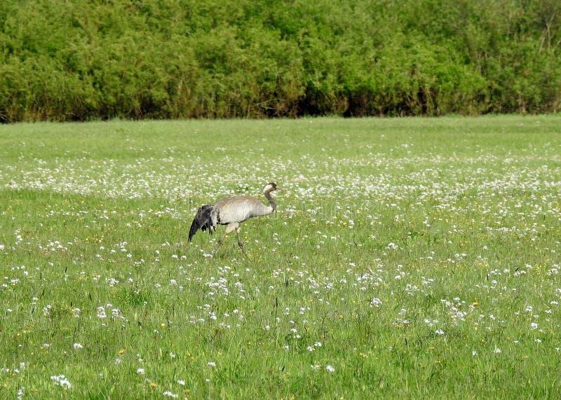 Beautiful heron bird in meadow, Lithuania stock images