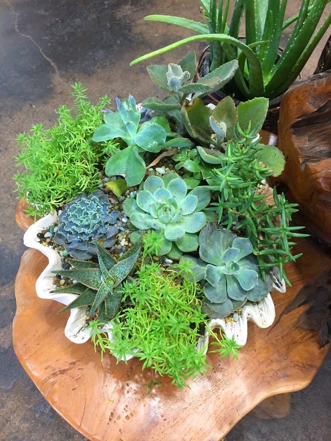 Nice het gemengde succulents groeien in de pot stock afbeelding