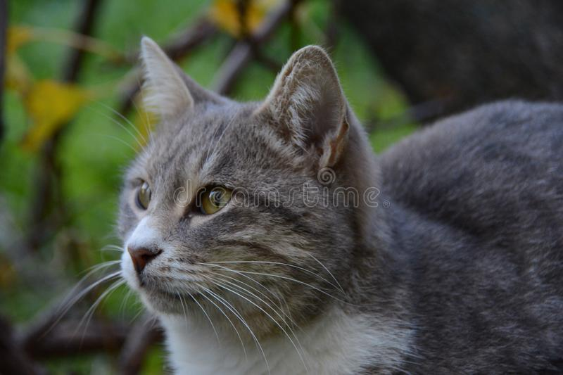 Cat. Gray cat on walking stock photos
