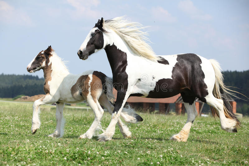 Nice irish cob mare with foal on pasturage. Nice skewbald irish cob mare running with foal on pasturage stock photo