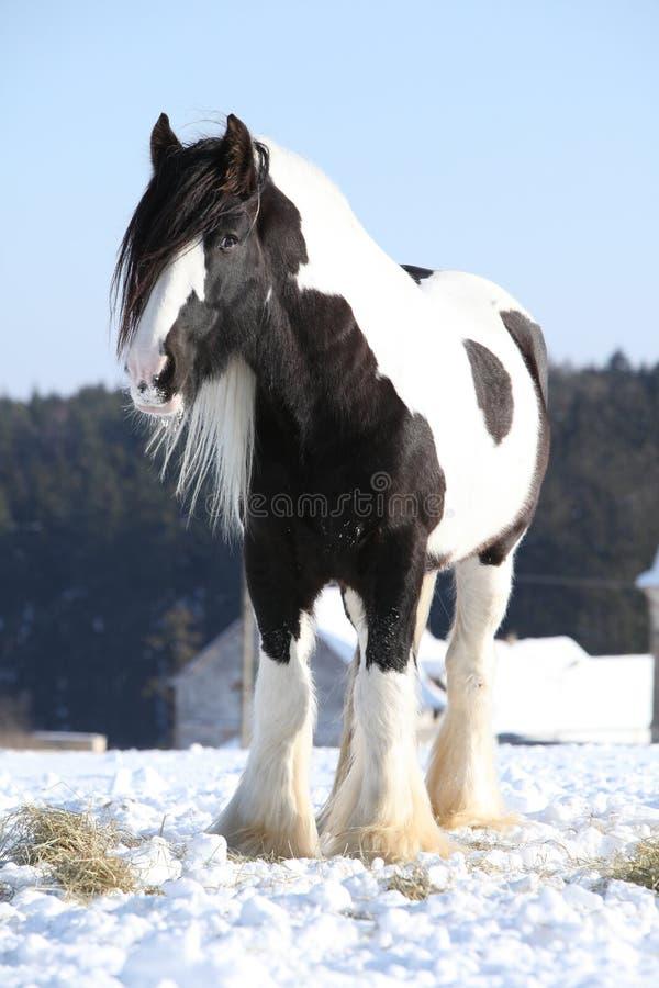 Nice irish cob stallion in winter. Nice irish cob stallion on the snow in winter royalty free stock images