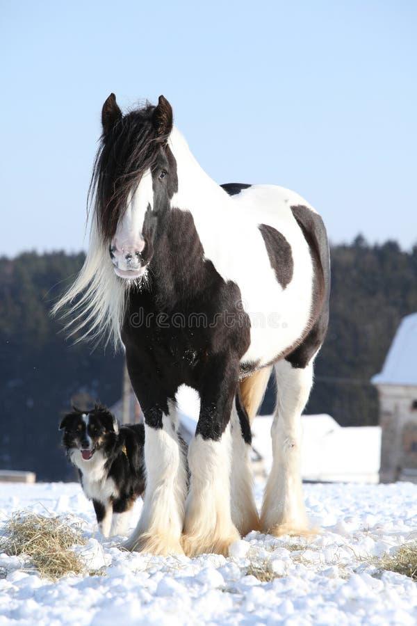 Nice irish cob stallion in winter. Nice irish cob stallion on the snow in winter stock image