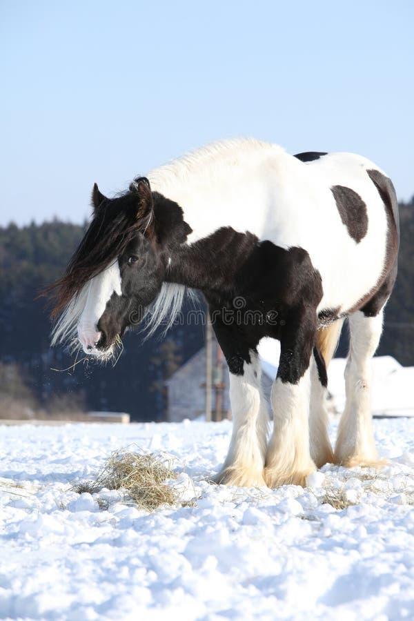 Nice irish cob stallion in winter. Nice irish cob stallion on the snow in winter royalty free stock photos