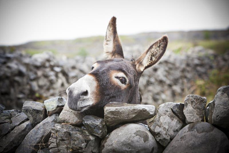 Nice Irish Donkey Behind A Stone Wall royalty free stock photos