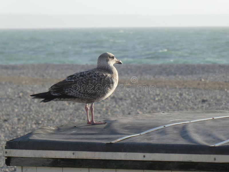 Nice juvenile European herring gull, Larus argentatus, watching the sea on the roof of a beach hut. The European herring gull have a varied diet, including royalty free stock photos