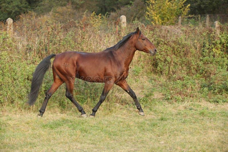 Nice kabardin horse running in autumn stock photography
