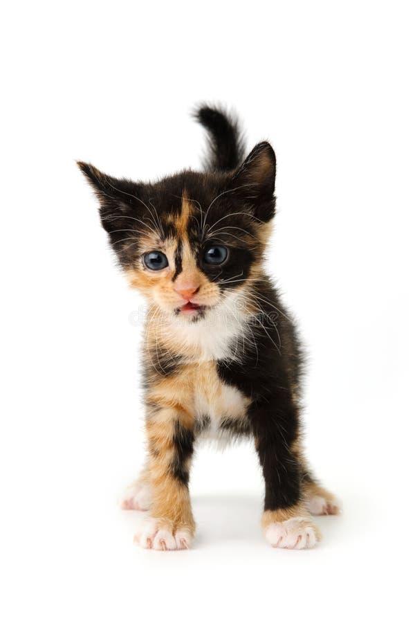 Nice Kitten Royalty Free Stock Image