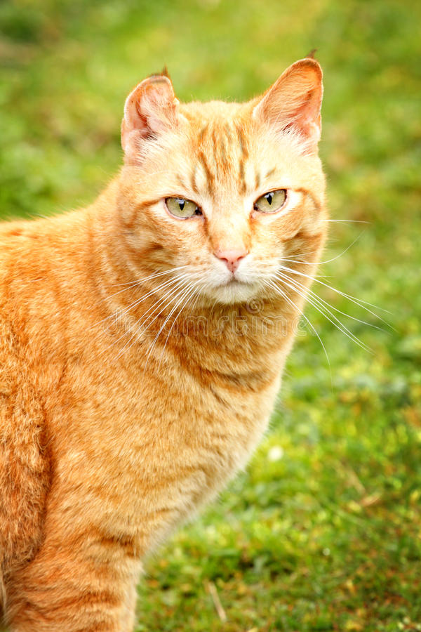 Download Nice Kitty stock image. Image of mirror, ginger, adult - 30540151
