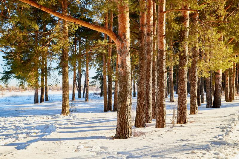 Landscape with pine trees on a Sunny winter or spring day. Nice landscape with pine trees on a Sunny winter or spring day royalty free stock photos