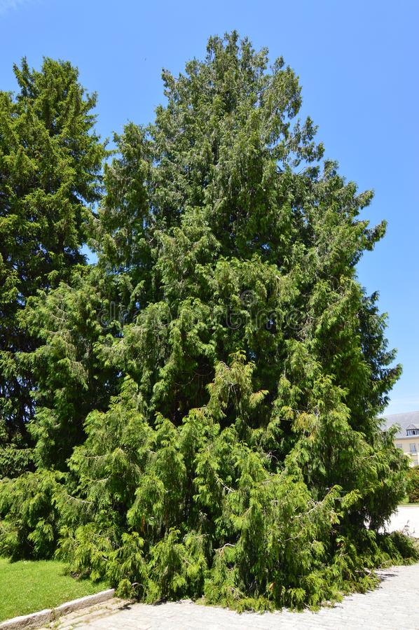 Nice Leafy Tree At The Palace Entrance In The Gardens Of The Farm. Art History Biology. June 19, 2018. La Granja Segovia Spain royalty free stock image