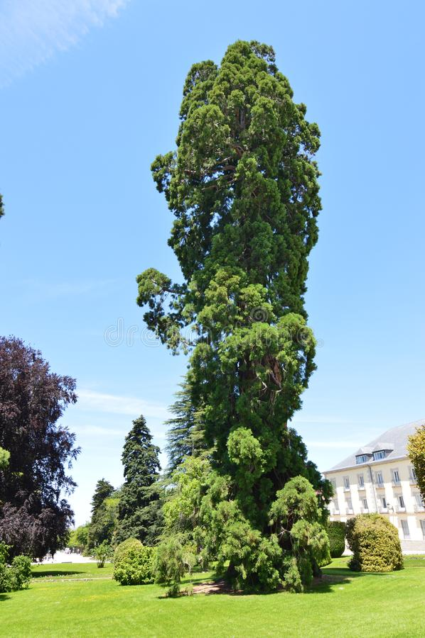 Nice Leafy Tree At The Palace Entrance In The Gardens Of The Farm. Art History Biology. June 19, 2018. La Granja Segovia Spain stock photos
