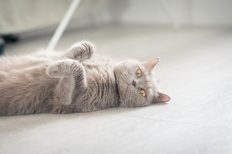 Lilac scottish straight cat is lying on the floor royalty free stock photography