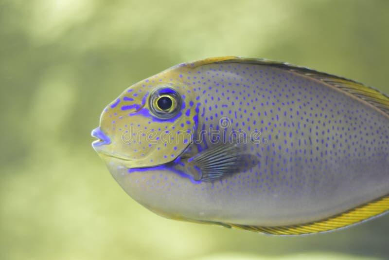 Nice liten blå havsfisk royaltyfri bild