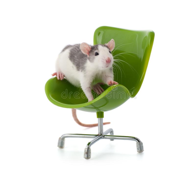 Nice little rat sitting on a miniature office chair. royalty free stock photo