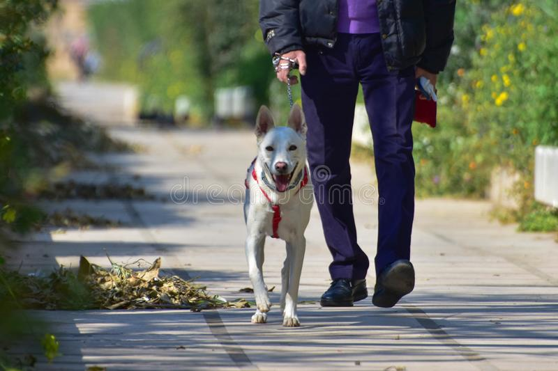 Nice little white dog n the walk stock photos