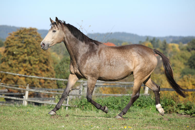 Nice mare on autumn pasturage. Nice kinsky mare running on autumn pasturage royalty free stock photo