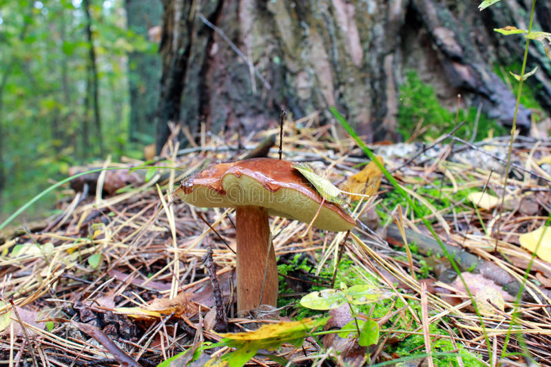 Nice mushroom of Suillus under the tree. In the forest royalty free stock image