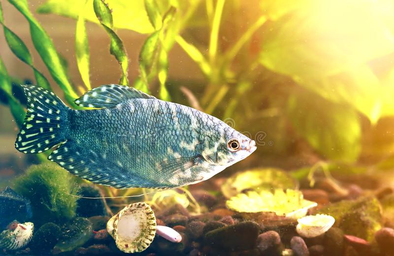 Nice one gray and blue big fish swimming in aquarium on blurred bright sunny background of water plants, shells and moss. Keeping royalty free stock photos