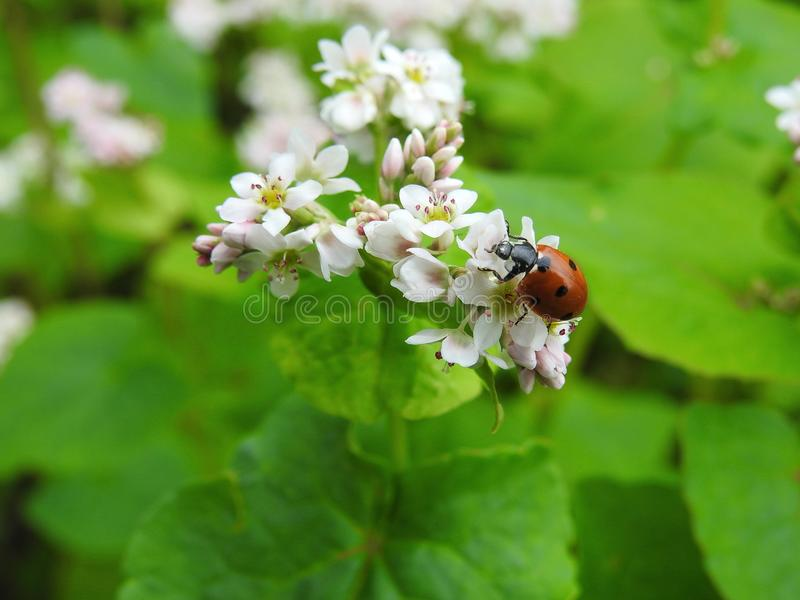 Beautiful red ladybird on white flowers , Lithuania royalty free stock photo