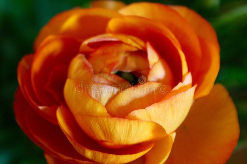 The nice orange flower is growing in the garden royalty free stock images