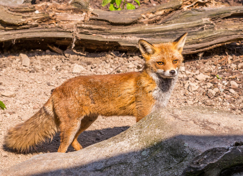 Nice orange fox in the wood partly hidden by stone stock photos