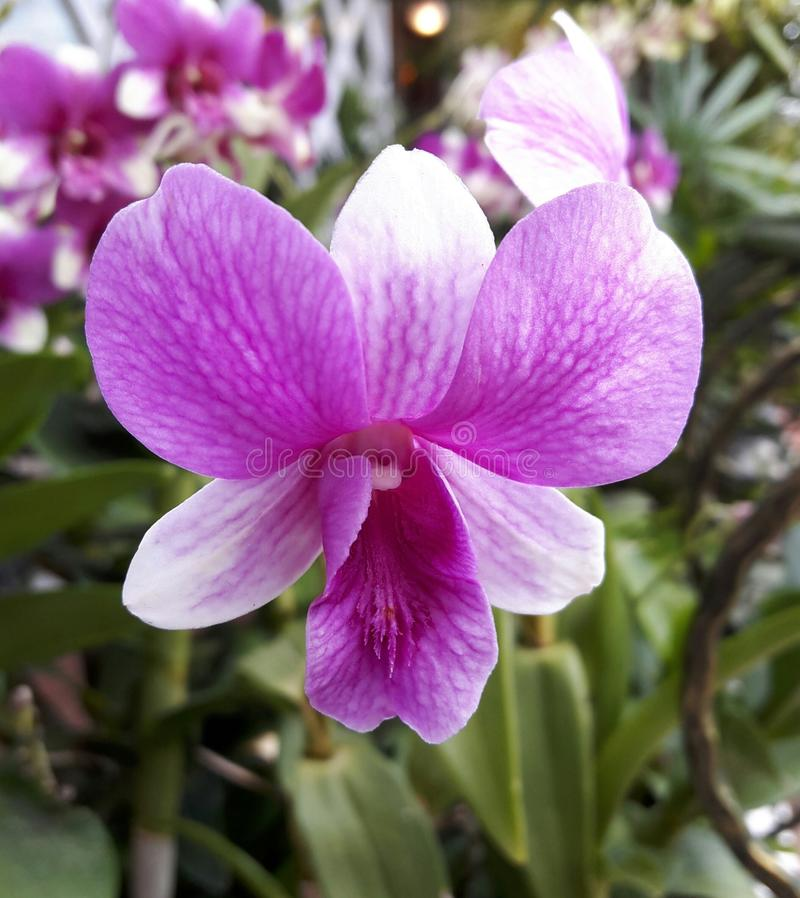Nice Orchid royalty free stock photo