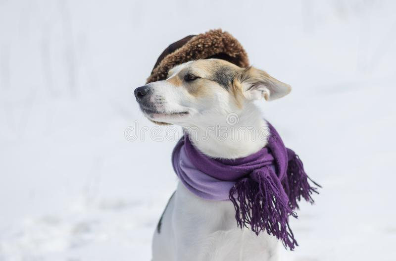 Outdoor portrait of white mixed-breed dog wearing comforter and wry fur-cap stock images