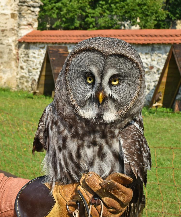 Nice owl on the hand outdoors. B stock photography