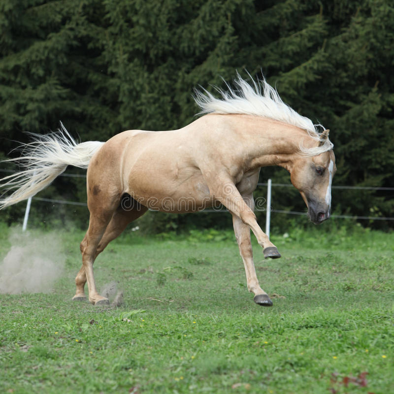 Download Nice Palomino Horse With Long Blond Mane Running Stock Photo - Image: 33513566