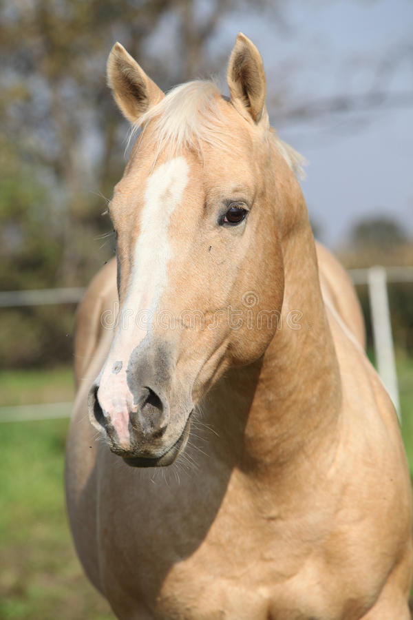 Download Nice Palomino Horse Looking At You Stock Image - Image: 34896297