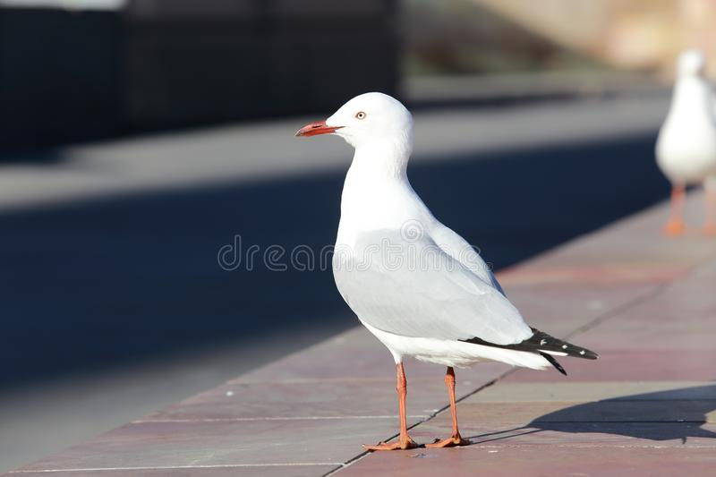 Nice peace pigeon in sunlight royalty free stock image