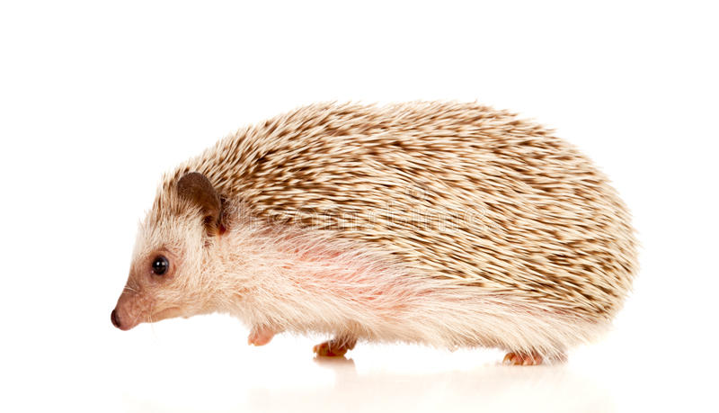 Nice pet. Brown hedgehog. Isolated on white background royalty free stock image